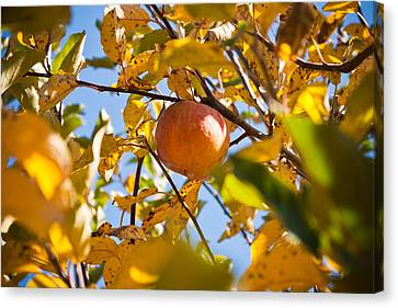 Apple Picking Canvas Print by Anthony Doudt