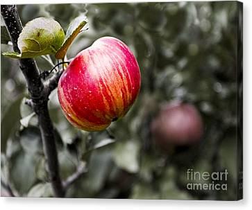 Apple Canvas Print by Steven Ralser
