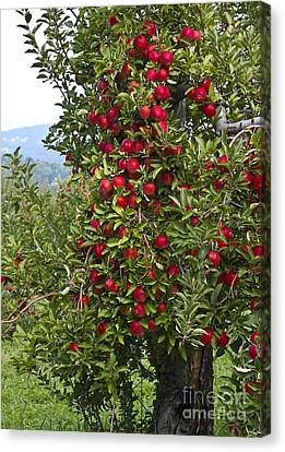 Apple Tree Canvas Print by Anthony Sacco