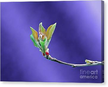 Apple Tree Blossom Spring Flower Bud Canvas Print by ImagesAsArt Photos And Graphics