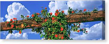 Arbor And Spreading Rose, Temecula Canvas Print by Panoramic Images