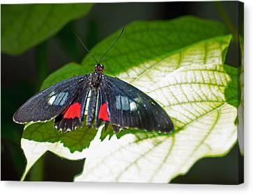 Arcas Cattleheart Butterfly Canvas Print by Cheryl Cencich