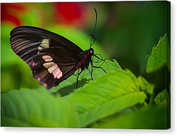 Arcas Cattleheart Butterfly Canvas Print by Lindley Johnson