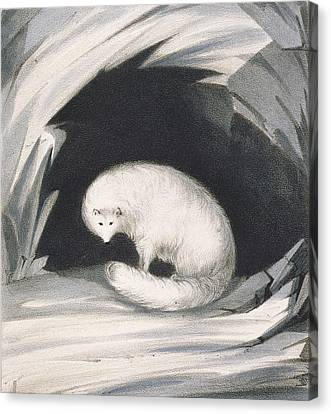 Arctic Fox, From Narrative Of A Second Canvas Print by Sir John Ross