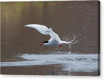 Arctic Tern Fishing Canvas Print by Ken Archer