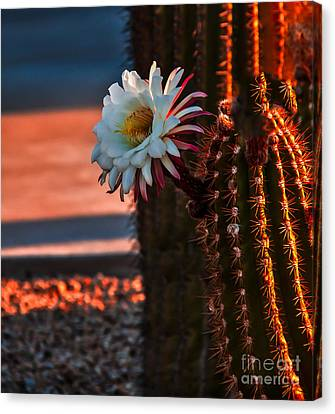 Argentine Cactus Canvas Print by Robert Bales