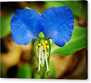 Arkansas Asiatic Dayflower Canvas Print by Randy Forrester
