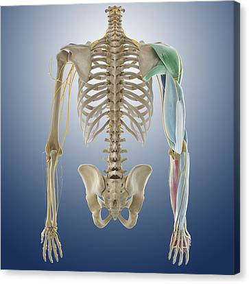 Arm Muscles, Artwork Canvas Print by Science Photo Library