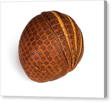 Armadillo Carapace Canvas Print by Ucl, Grant Museum Of Zoology