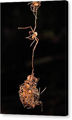 Army Ants Building Bivouac Canvas Print by Mark Moffett
