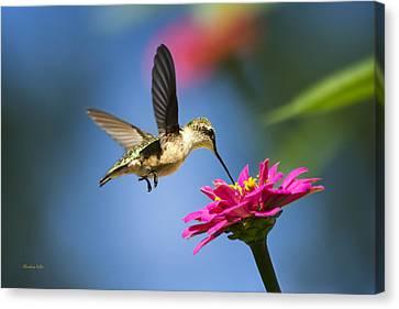 Art Of Hummingbird Flight Canvas Print by Christina Rollo