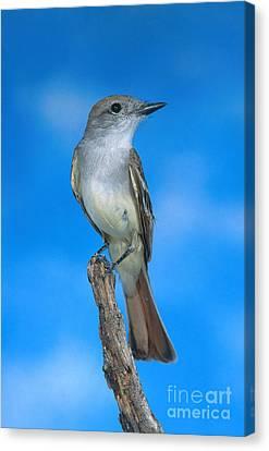 Ash-throated Flycatcher Canvas Print by Anthony Mercieca