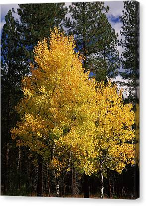 Aspen And Ponderosa Pine Trees Canvas Print by Panoramic Images