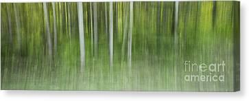 Aspen Grove  Canvas Print by Priska Wettstein