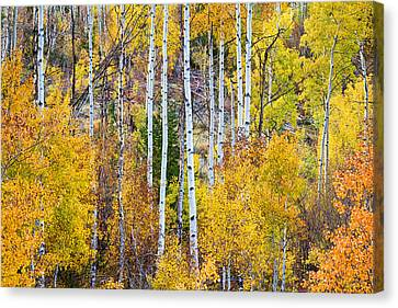 Aspen Tree Magic Canvas Print by James BO  Insogna