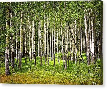 Aspen Trees In Banff National Park Canvas Print by Elena Elisseeva