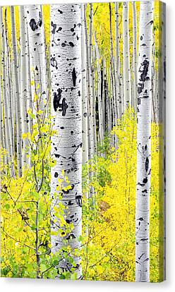 Aspens   Canvas Print by The Forests Edge Photography - Diane Sandoval
