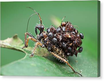 Assassin Bug Nymph With Ants Canvas Print by Melvyn Yeo