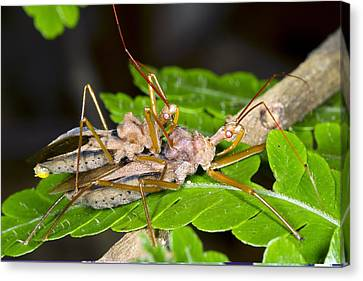 Assassin Bugs Mating, Ecuador Canvas Print by Science Photo Library