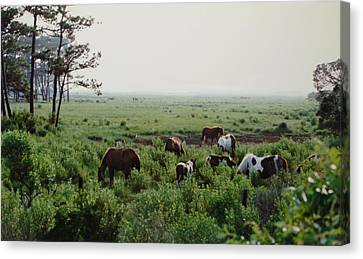 Assateague Herd 2 Canvas Print by Joann Renner