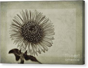Aster With Textures Canvas Print by John Edwards
