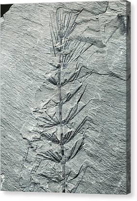 Asterophyllites Horsetail Fossil Canvas Print by Gilles Mermet