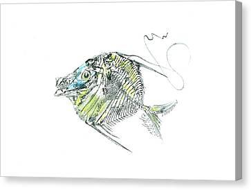 Atlantic Lookdown Fish Against White Background Canvas Print by Nancy Gorr