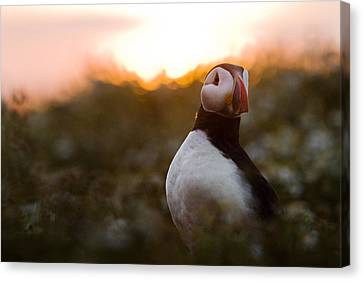 Atlantic Puffin At Sunrise Skomer Canvas Print by Sebastian Kennerknecht