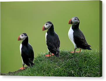 Atlantic Puffin Trio On Cliff Canvas Print by Cyril Ruoso
