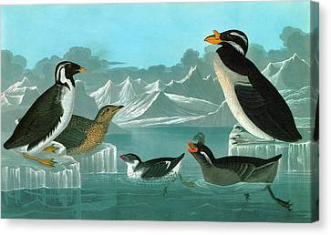 Audubon Auks Canvas Print by Granger