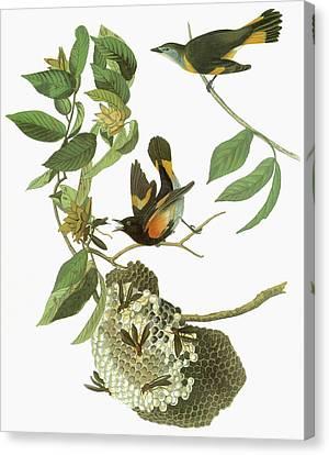 Audubon Redstart Canvas Print by Granger