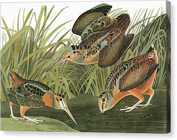 Audubon Woodcock Canvas Print by Granger