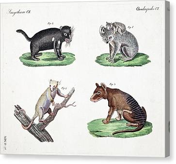 Australasian Marsupials Canvas Print by Paul D Stewart