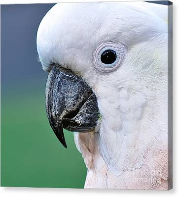 Australian Birds - Cockatoo Up Close Canvas Print by Kaye Menner