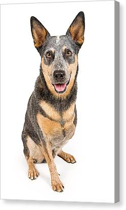Australian Cattle Dog With Missing Leg Isolated On White Canvas Print by Susan Schmitz