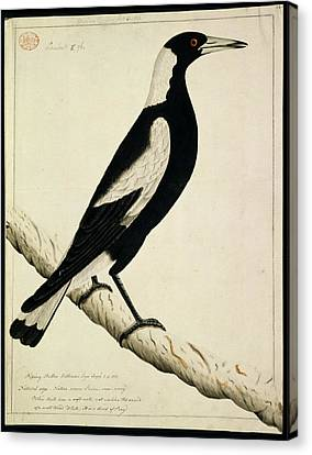Australian Magpie Canvas Print by Natural History Museum, London