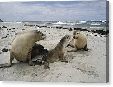 Australian Sea Lion And Pups Kangaroo Canvas Print by Gerry Ellis