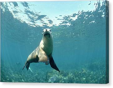 Australian Sea Lion Canvas Print by Jeff Rotman