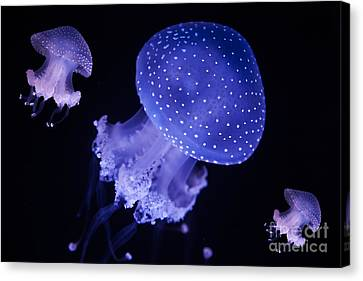 Australian Spotted Jellyfish Canvas Print by English Landscapes