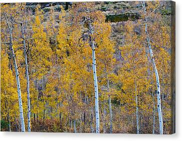 Autumn Aspens Canvas Print by James BO  Insogna