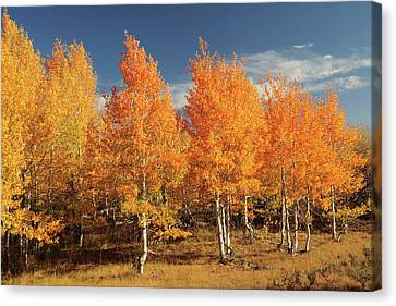 Autumn Aspens, Steens Mountain Canvas Print by Michel Hersen