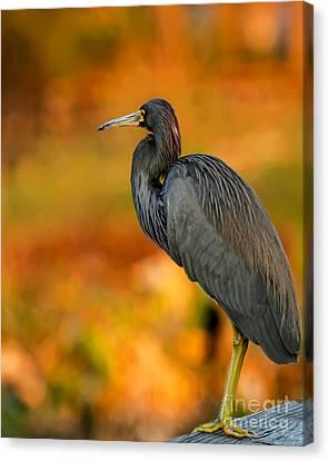 Autumn Blue Heron Canvas Print by Sabrina L Ryan