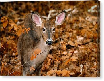 Autumn Buck Canvas Print by Tracy Munson