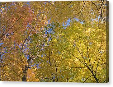 Autumn Color Maple Tree Canopy, Mille Canvas Print by Panoramic Images