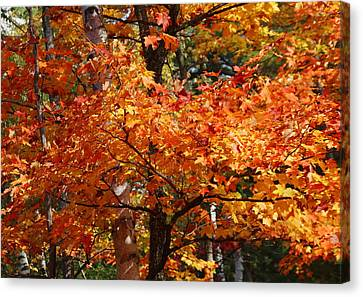 Autumn Gold Canvas Print by Pat Speirs