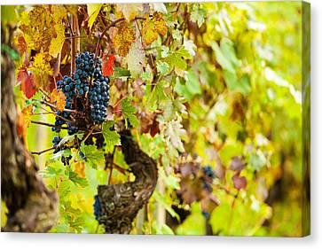 Autumn Grape Harvest Season Canvas Print by Susan  Schmitz