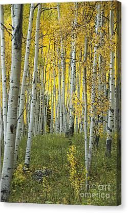 Autumn In The Aspen Grove Canvas Print by Juli Scalzi