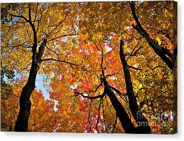 Autumn Maple Trees Canvas Print by Elena Elisseeva