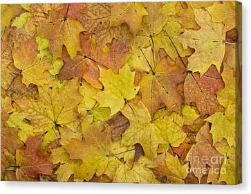 Autumn Sugar Maple Leaves Canvas Print by Tim Gainey