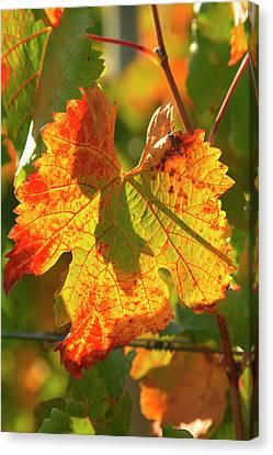 Autumn Vine Leaf, Vineyard Canvas Print by David Wall